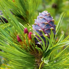 cone at a green branch of cedar elfin wood